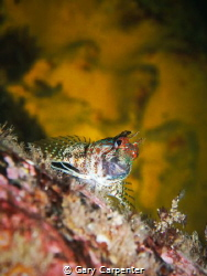 Red or Portuguese Blenny (Parablennius ruber) - Picture t... by Gary Carpenter